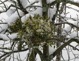 le bacche del vischio tra la neve