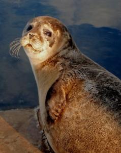 foca-saluta