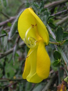 450px-Broom_flower