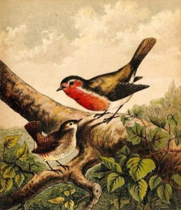 518px-Book_Illustration_of_a_Robin_and_Wren