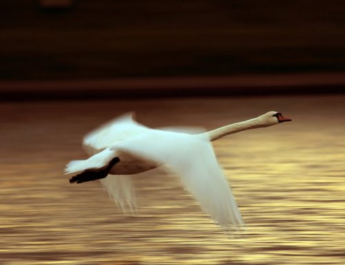 An Eala Bhàn (The White Swan)