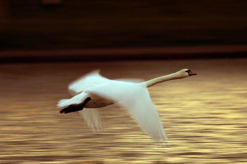 cigno in volo