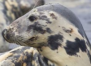 grey-seal-profilo