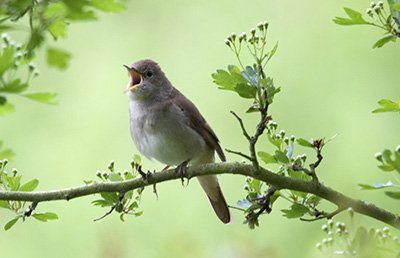 To Hear the Nightingale Sing One Morning in May