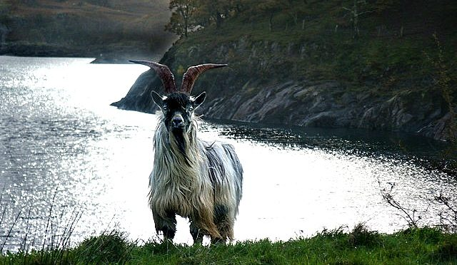 Puck Fair: a rebellious billy-goat